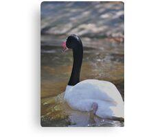 swan stroll Canvas Print