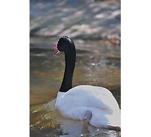 swan stroll Photographic Print