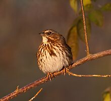 SONG SPARROW by Sandy Stewart
