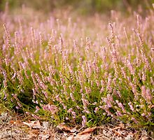 Bunches of wild pink heather  by Arletta Cwalina