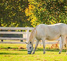 Slovenia, Lipica, Lipizzan Horse by MarcoSaracco