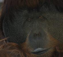 Male Orangutan by Tom Grieve