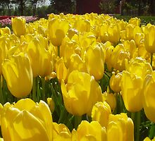 Bright Sunny Yellow Tulips by Megan Noble