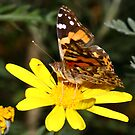 Australian Painted Lady  by FASImages