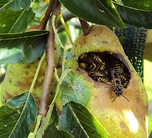 Wasps inside a Pear by franceslewis