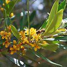 Myrtaceae  Water gum by Lozzar Flowers & Art