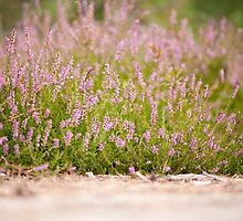 Bunches of pink heather flowering by Arletta Cwalina
