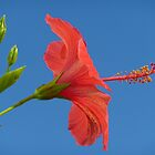 Blue Sky And Hibiscus by Fara