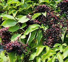 Elderberry fruits fresh clusters by Arletta Cwalina
