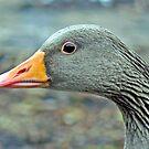 Benji The Greylag Gosling by AARDVARK