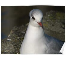 A gull Poster