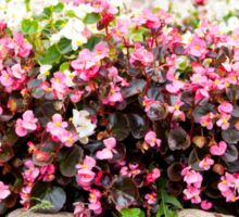 pink Begonia semperflorens clumps Sticker