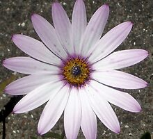 Dimorphotheca-annua. African Daisy  by Woodie