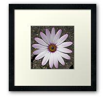 Dimorphotheca-annua. African Daisy  Framed Print