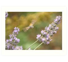 Humming Around the Lavender Art Print