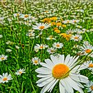 Field of oxeye daisy flower by artshop77