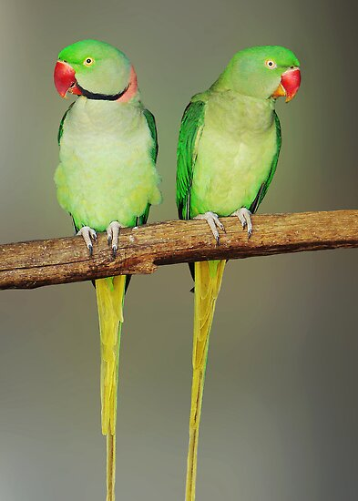 INDIAN RINGNECK PARAKEETS by Michael Sheridan