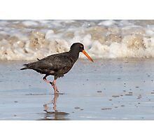 Sooty Oyster Catcher Photographic Print