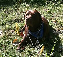 chocolate labrador,3 by labsrule72
