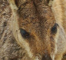 Close up of wild rock wallaby by Phoenix-Appeal