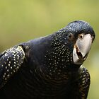 South-eastern Red-tailed Black Cockatoo by Michael Fotheringham Portraits