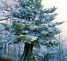 FIR TREE, CLINGMANS DOME* by Chuck Wickham
