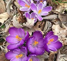 Striped Beauty and Purple Sensation Crocus by Randy  Burns