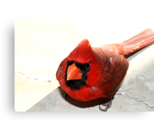 Red Cardinal (Featured) Texas Group Canvas Print
