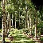 Birch Trees by Antonia Newall