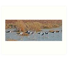 Black winged Stilts, Derby, Western Australia Art Print