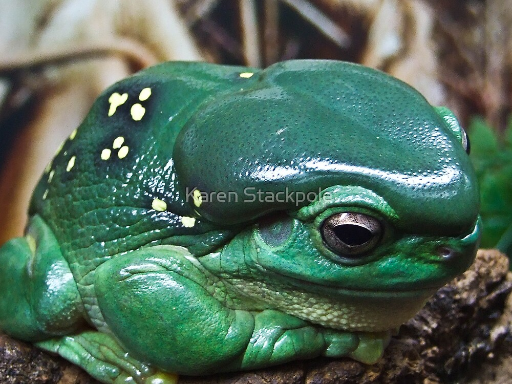 GREEN TREE FROG - Queensland by Karen Stackpole
