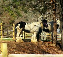 Twin Clydesdales by Lisa Taylor