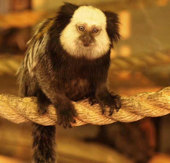 Geoffroy`s Marmoset by Franco De Luca Calce