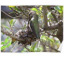 Hummingbird Momma Feeding Her Baby Poster