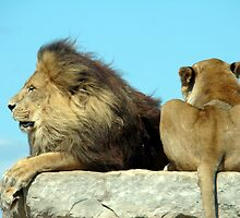 Lion pair relaxing by Wabacreek Photography