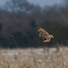 Short eared owl 2 by Ashley Beolens
