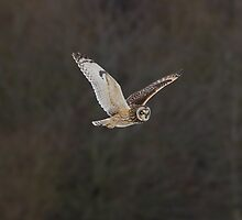 Short eared owl 3 by Ashley Crombet-Beolens