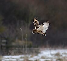Short eared owl 7 by Ashley Beolens