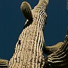 Straight-up Saguaro by Andy Martin
