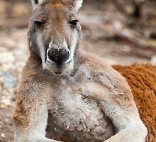Red Kangaroo by William Bullimore