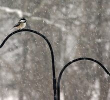 Chickadee in Snowstorm by mlentz