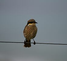 Bird on a wire by Michael Fotheringham Portraits