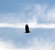 Bald Eagle by mdtrudell