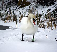 Snow Swan by Kevin Meldrum
