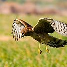 Northern Harrier by Marvin Collins