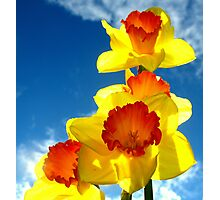 Daffodils In The Sky Photographic Print