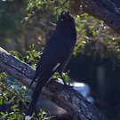 Currawong by Peter Krause