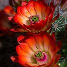 Hedgehog Blossoms in the Morning Light  by Saija  Lehtonen