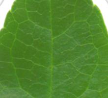 Lil green Sticker