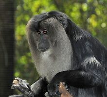 Lion-tailed Macaque IX by Tom Newman